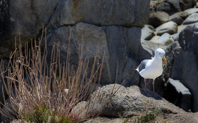 Seagull, Lovers Beach